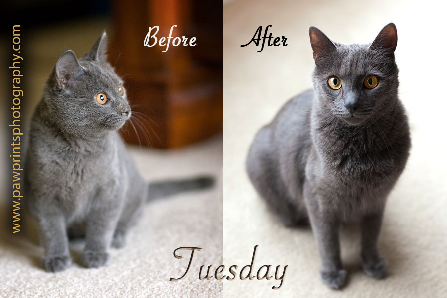 Grey cat as a kitten and adult