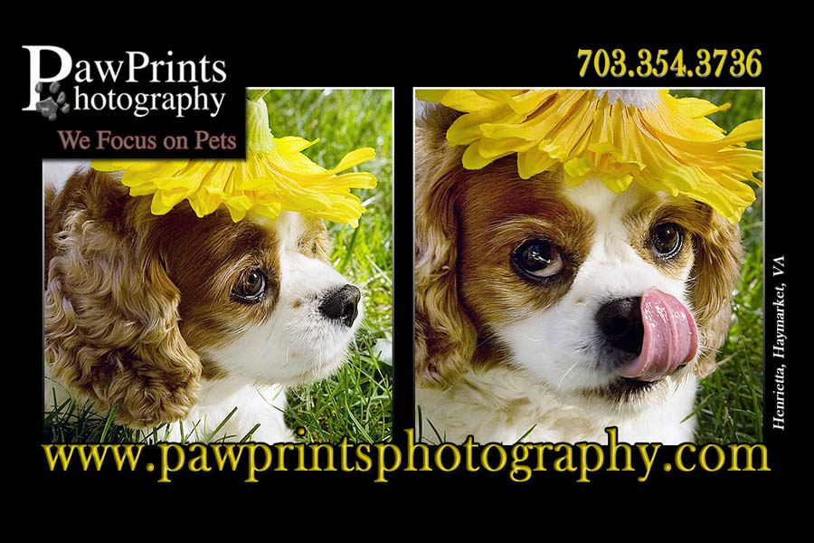 Cavalier King Charles Spaniel with Sunflower