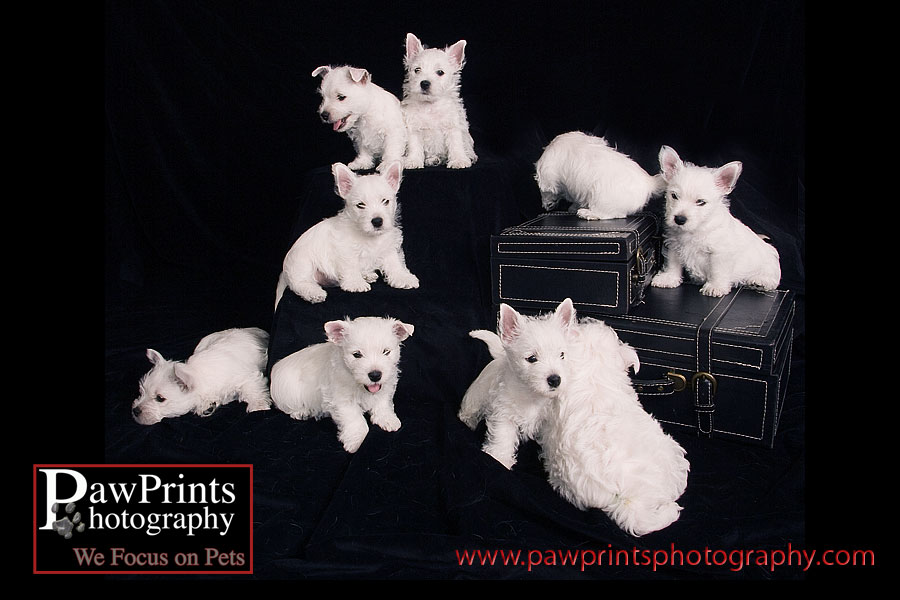 westie puppies moving around