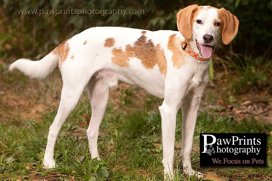 white and tan hound