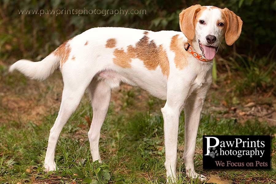white and tan hound