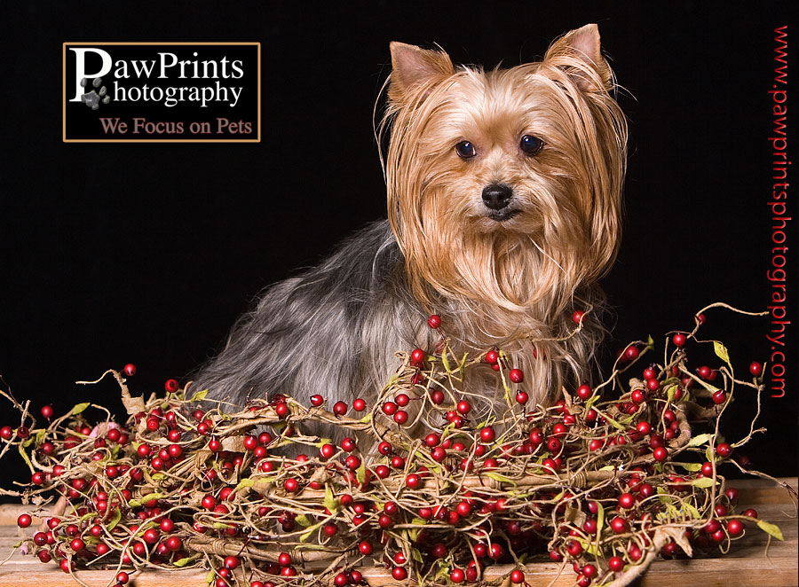 yorkie in the berries