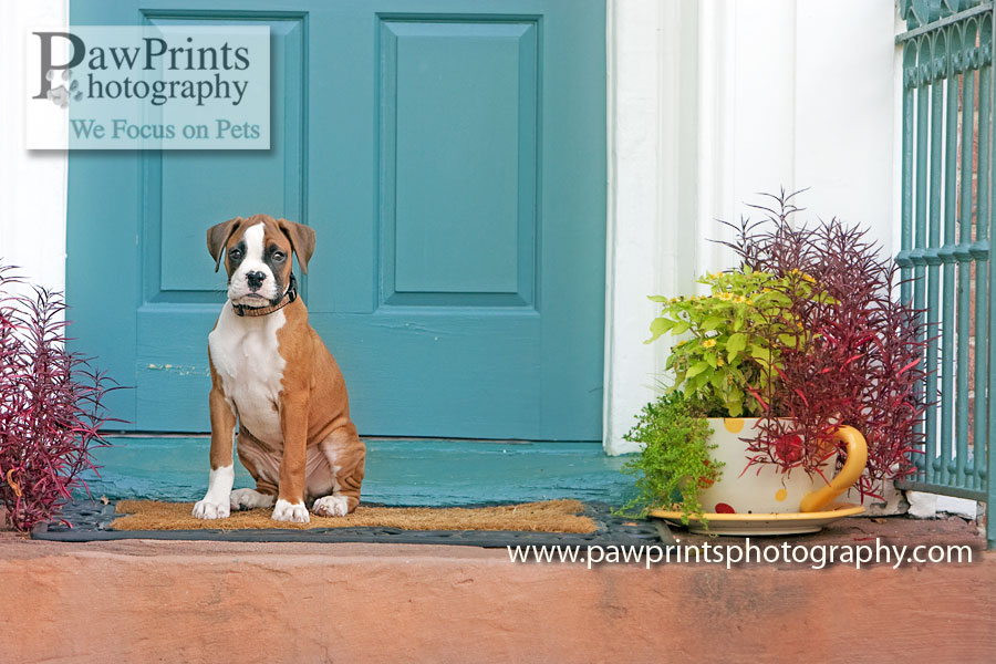 boxer_puppy_door