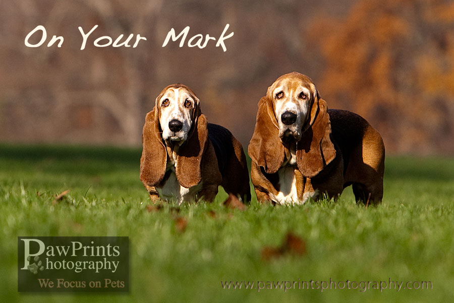 bassets_on_your_mark