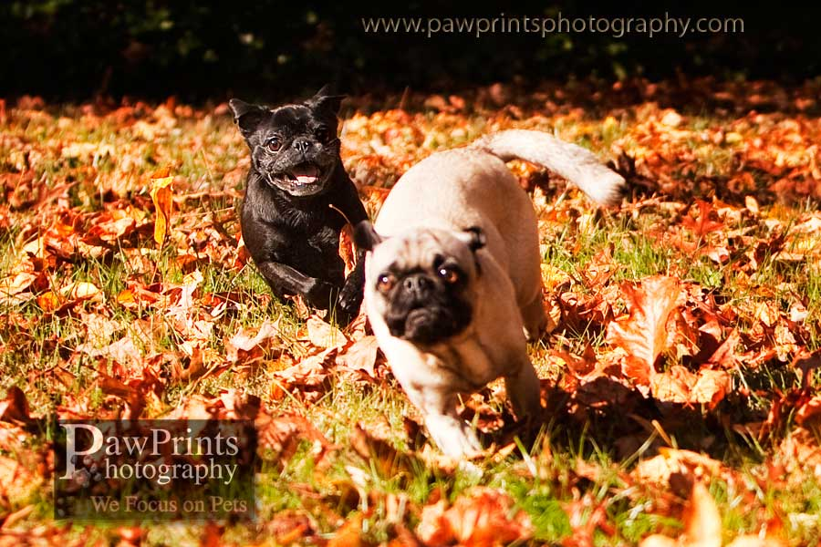running_pugs