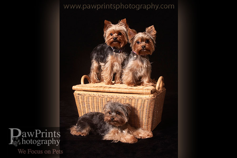 yorkies_basket1