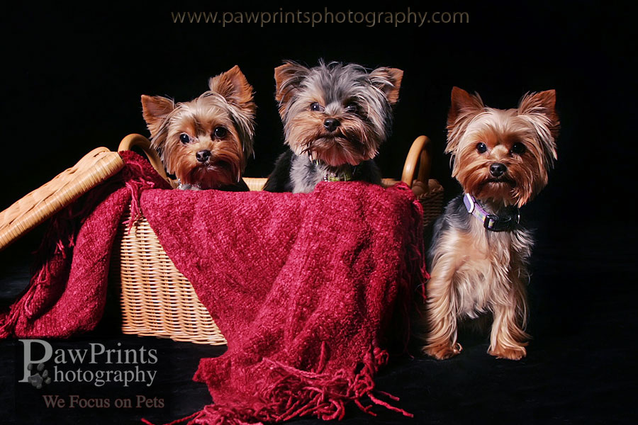 yorkies_basket_red