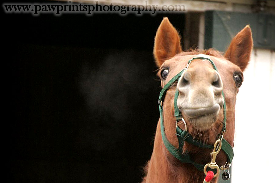 ivy_horse_or_camel