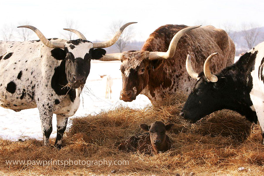 longhorn_3_watchful