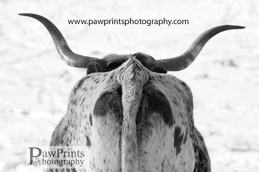 longhorn_back
