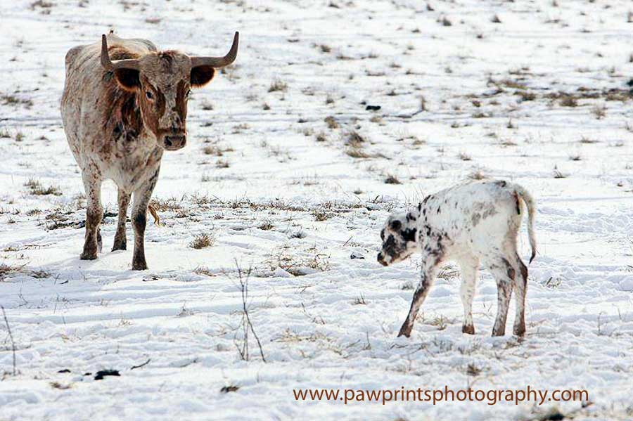 longhorn_mom_calf