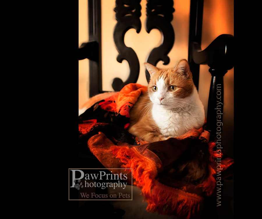 Orange and white cat in black chair with orange scarf
