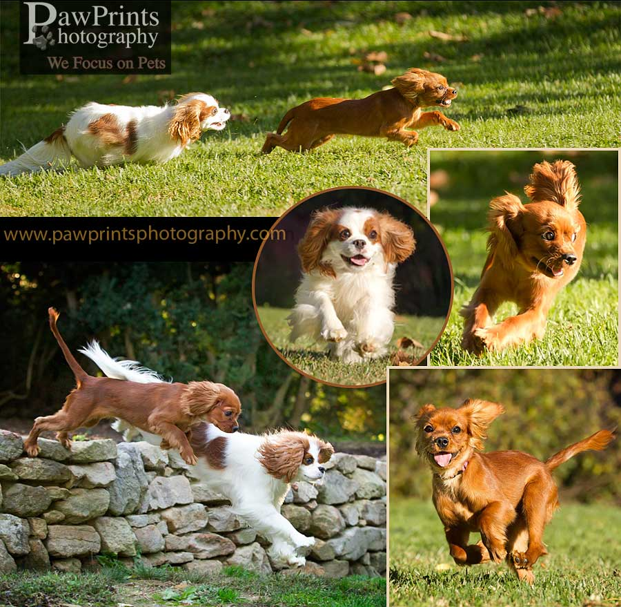 cavalier_running_collage