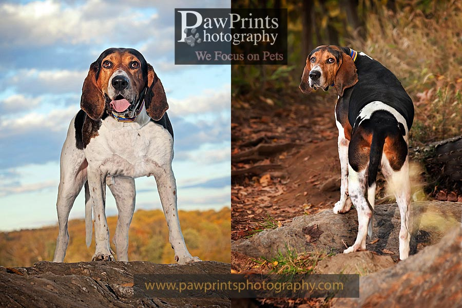 buford_king_leaves_coonhound