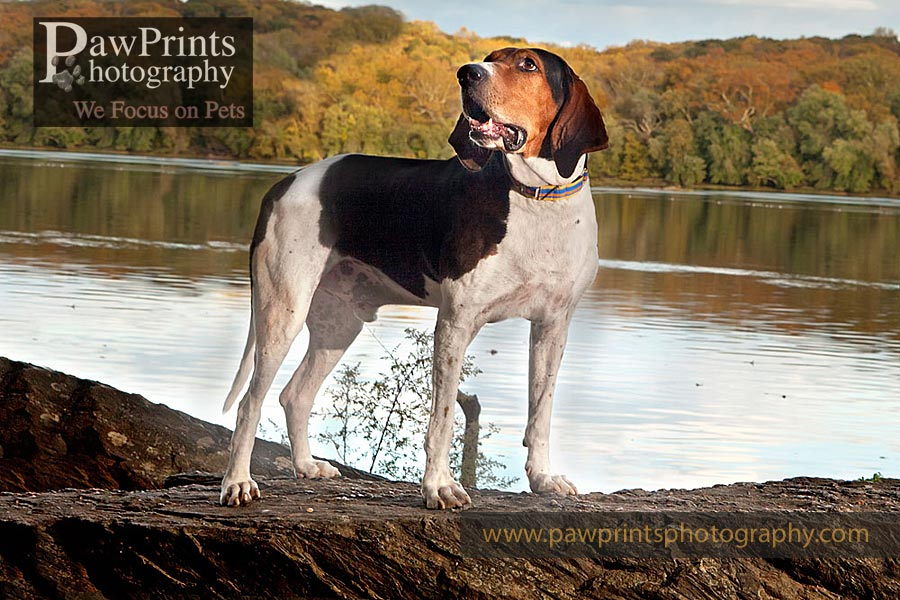 coonhound standing on rock