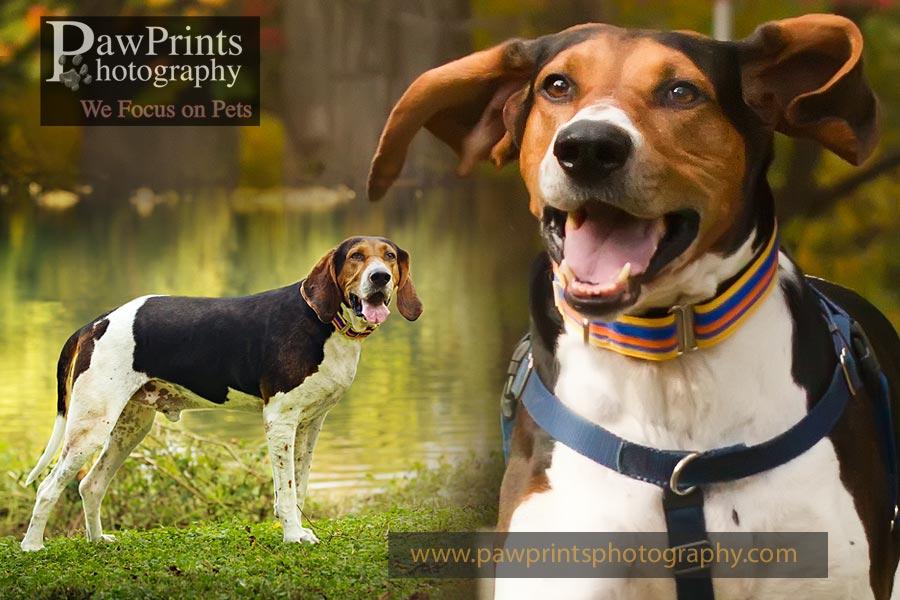 coonhound running/standing