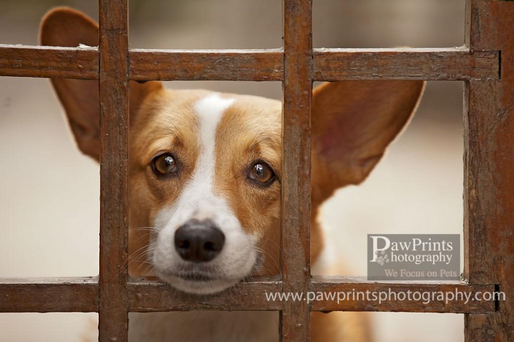 Corgi looking through fence